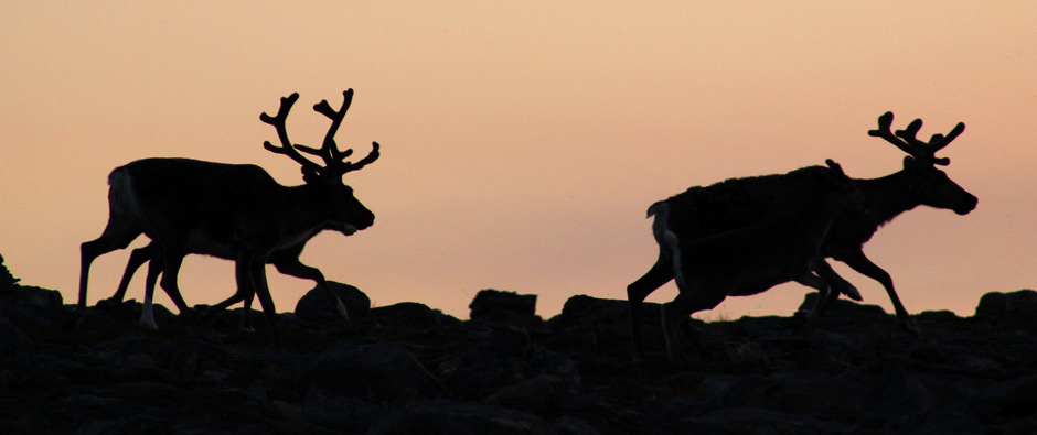 Discover the reindeer, herbalism and natural cuisine